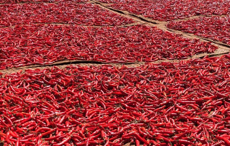 Peppar för röd chili som torkar i solen royaltyfri bild