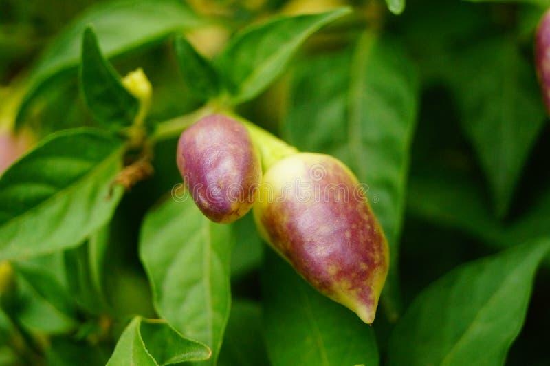 Peppar växer i trädgården, kulör pepparblickgoda royaltyfri fotografi