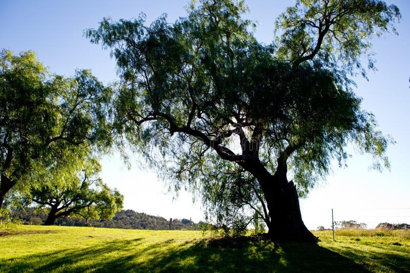 Pepparkornträd drar tillbaka tänt av ottasolen i land arkivbilder