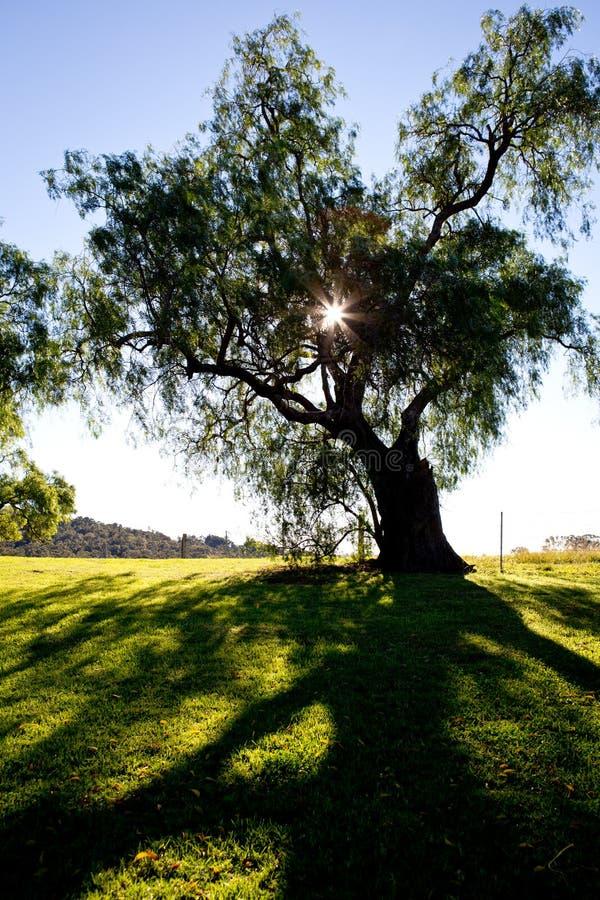 Pepparkornträd drar tillbaka tänt av ottasolen i land royaltyfria bilder