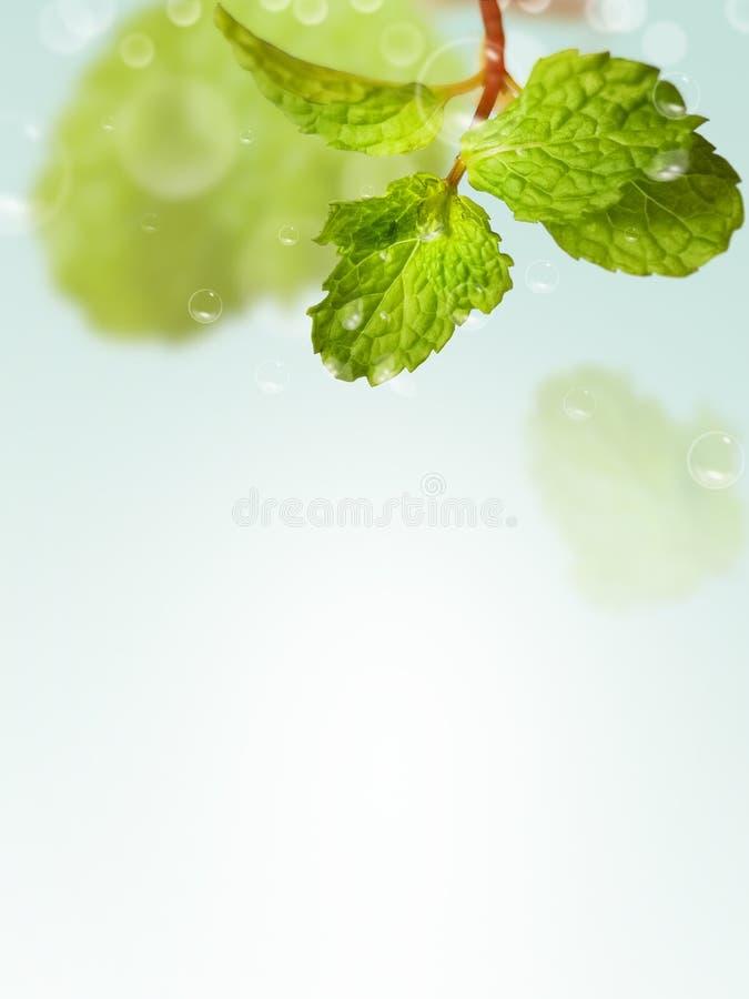 Pepparmintblad på ljus bakgrund arkivfoton