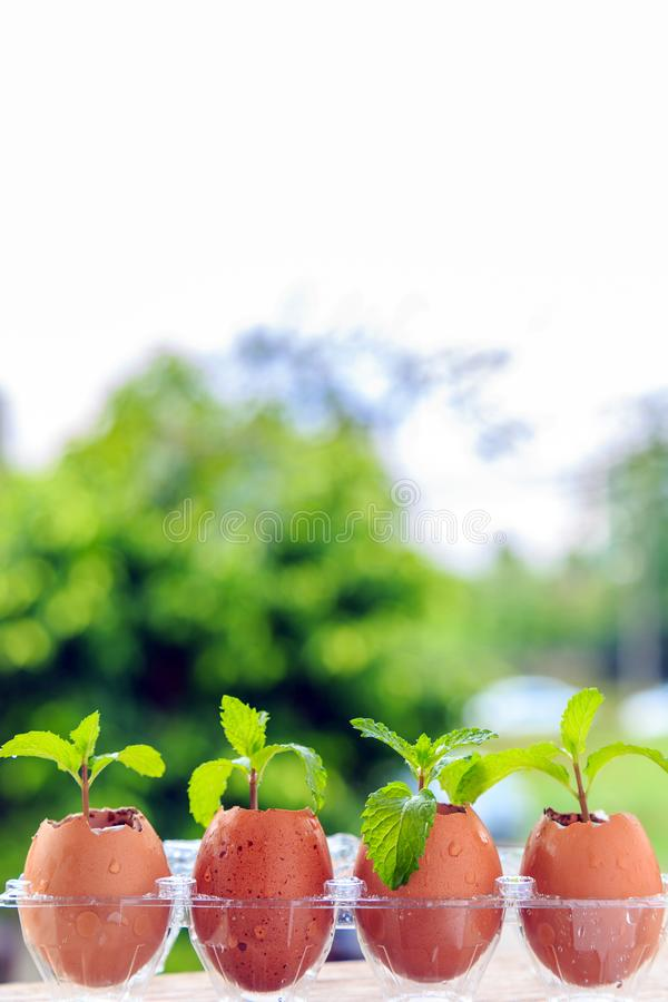 Pepparmintväxt i äggskal med naturbakgrund fotografering för bildbyråer