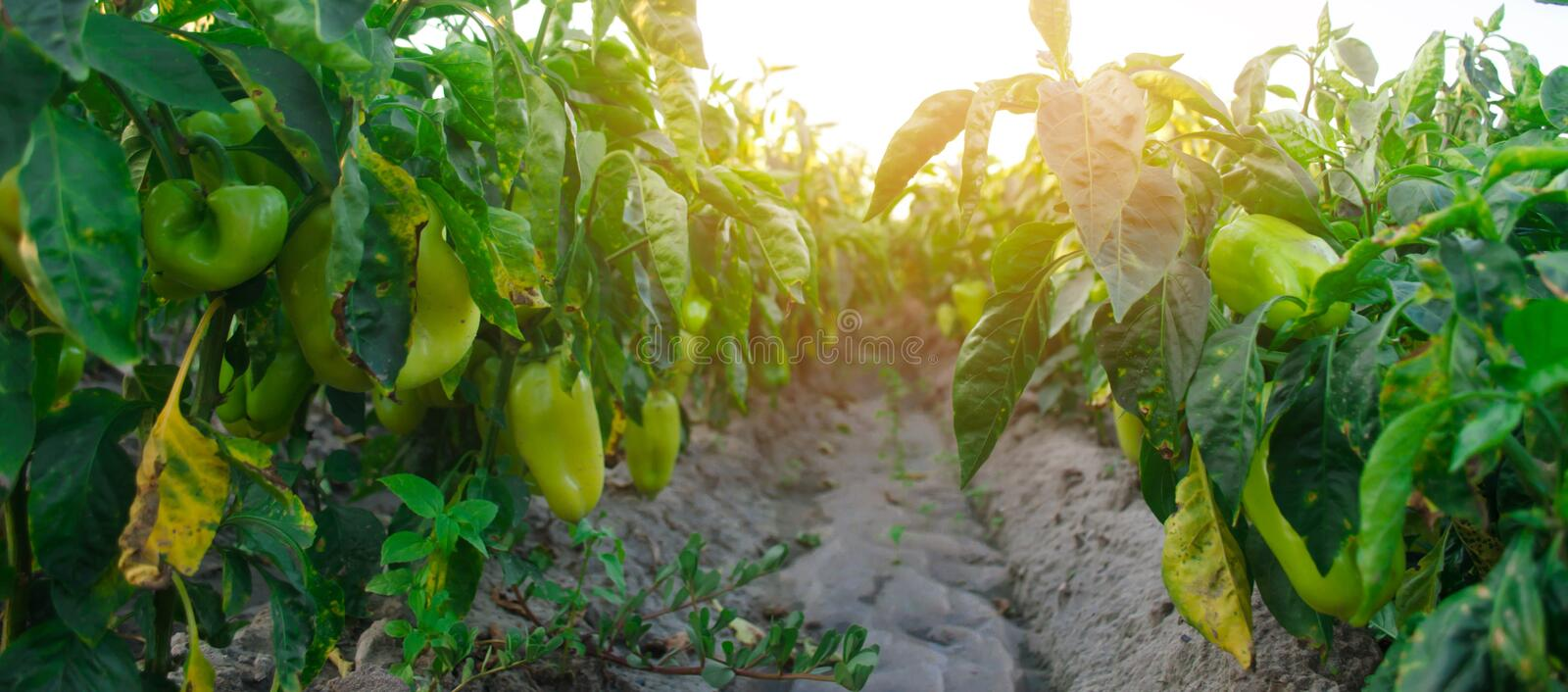 Pepper disease is caused by the Phytophthora infestans virus. Ag. Riculture, farming, crops. disease of vegetables on the field stock image