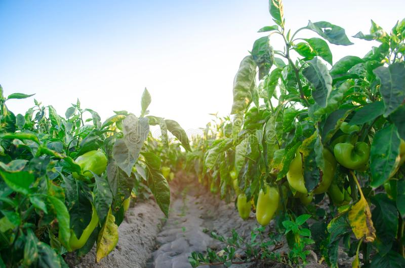 Pepper disease is caused by the Phytophthora infestans virus. Agriculture, farming, crops. disease of vegetables on the field.  royalty free stock photography