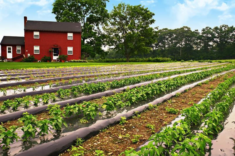 Pepper farm royalty free stock images
