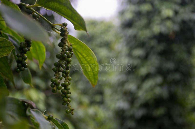 Pepper field in closeup royalty free stock images