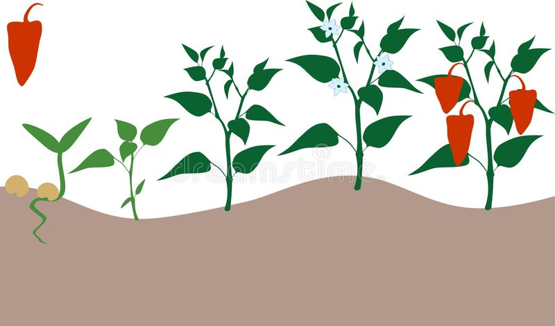 Pepper growing stage. Stage of growth of bell red pepper royalty free illustration