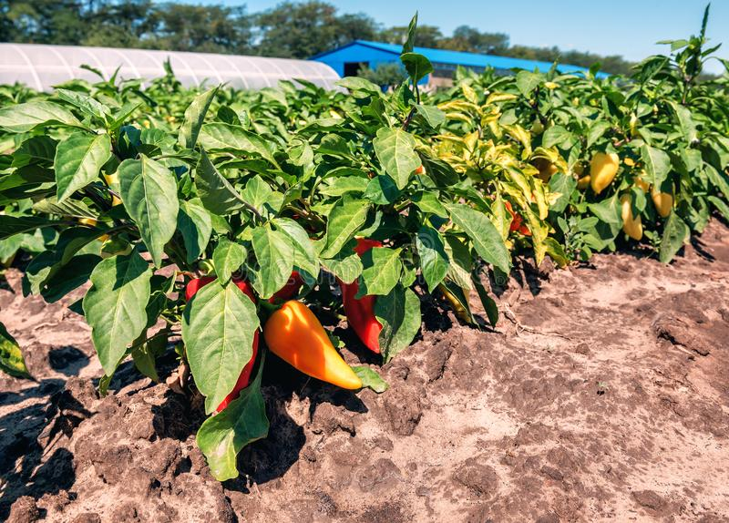 Pepper grows on the field royalty free stock photos