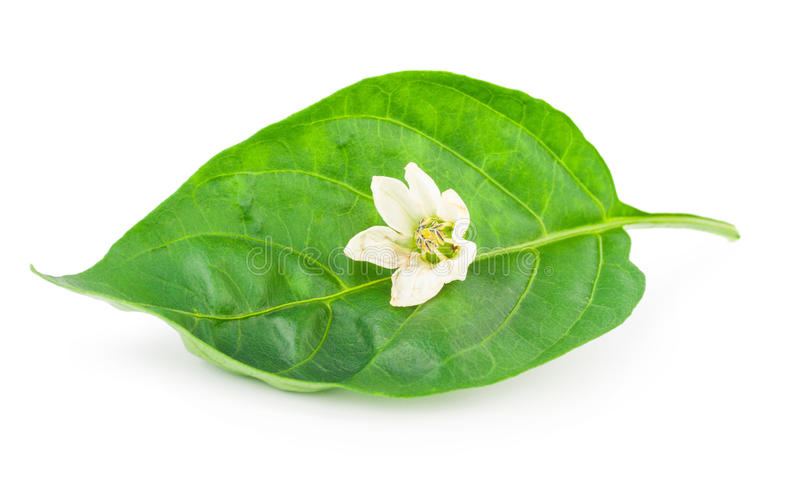 Pepper leaf with flower stock image
