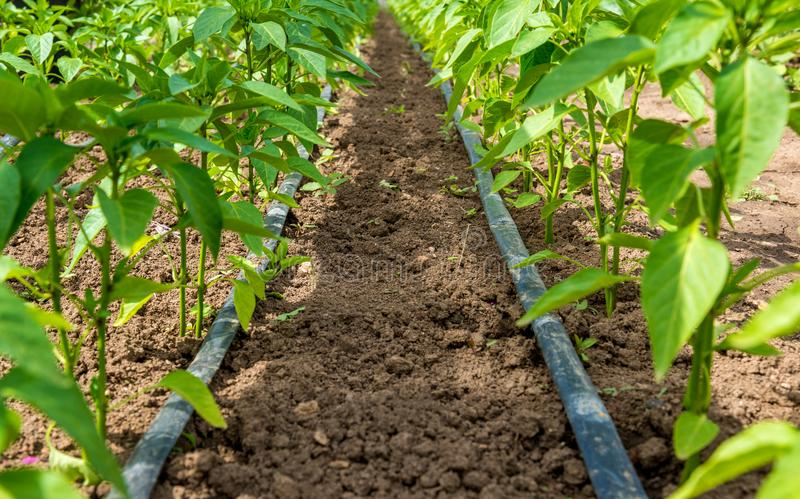 Pepper plant and drip irrigation stock photography