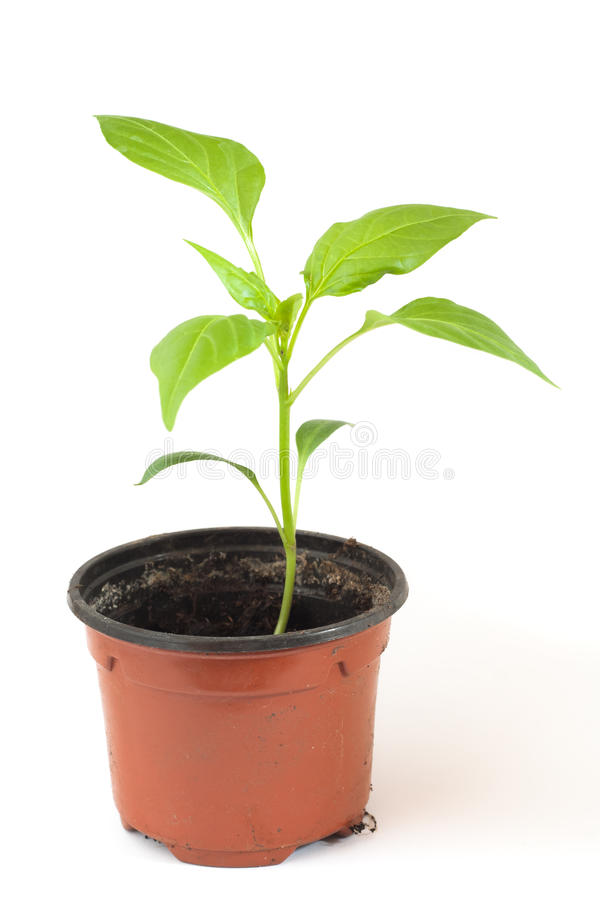 Pepper plant stock image
