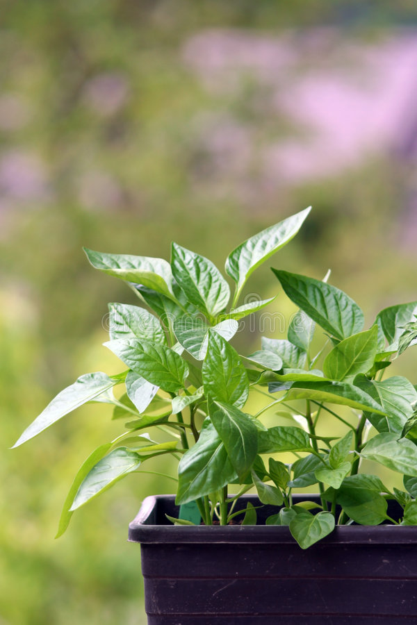 Free Pepper Plants Royalty Free Stock Photography - 5378907