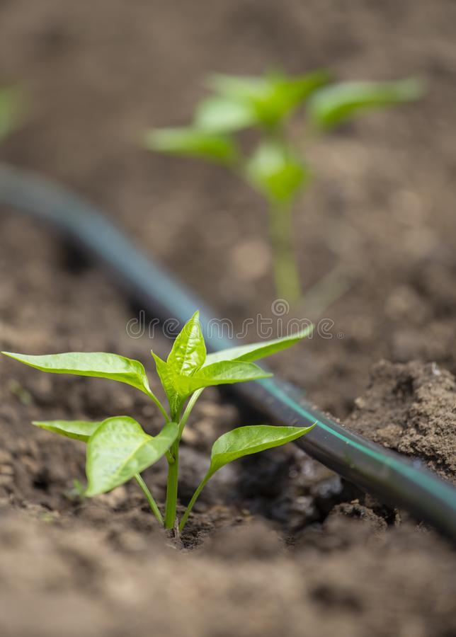 Pepper plants with drip irrigation royalty free stock image