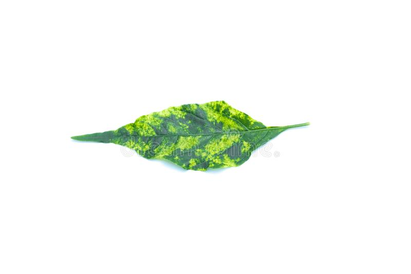 Pepper yellow leaf curl virus on white background.  royalty free stock photography