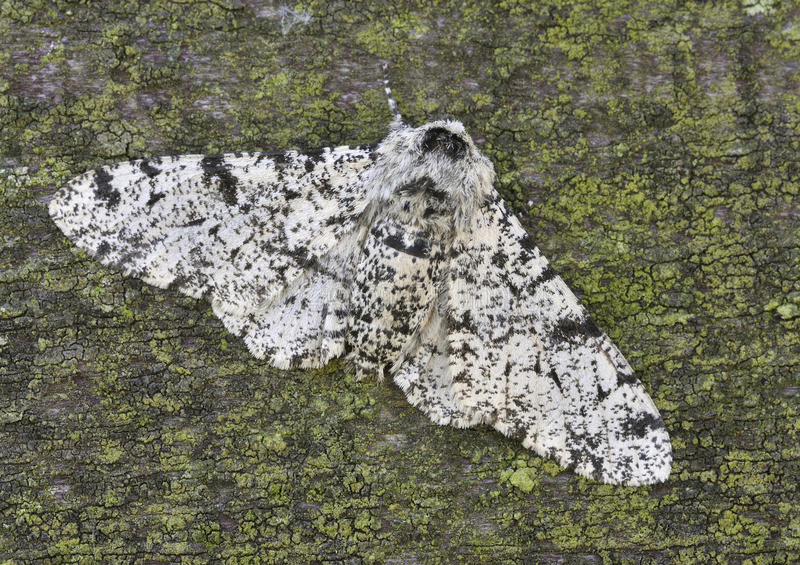 Download Peppered Moth stock image. Image of lepidoptera, light - 16388375