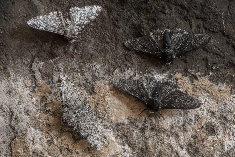 Pepperedmot & x28; Biston betularia& x29; melanic en lichte vorm royalty-vrije stock foto's