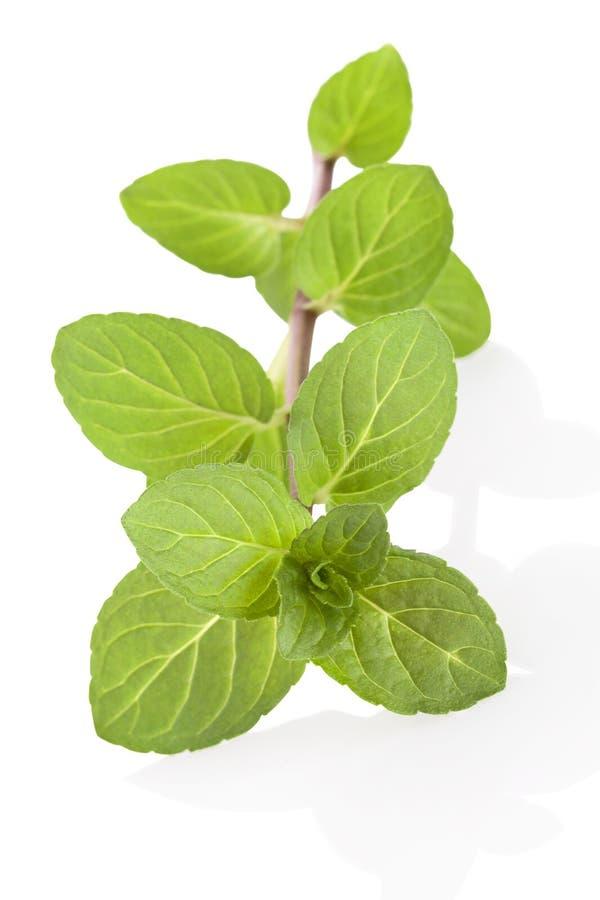 Peppermint κλαδίσκος. στοκ φωτογραφία με δικαίωμα ελεύθερης χρήσης