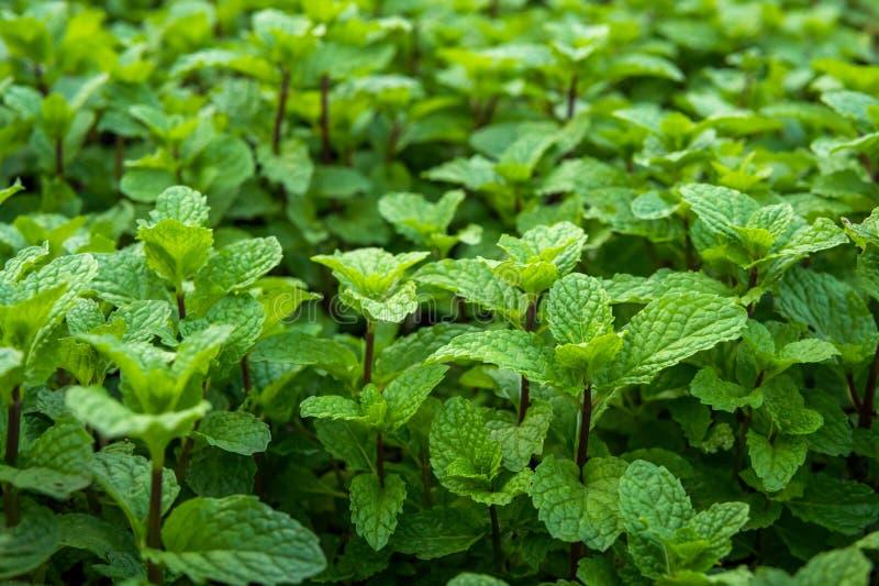 Peppermint στο φυτικό κήπο στοκ εικόνες