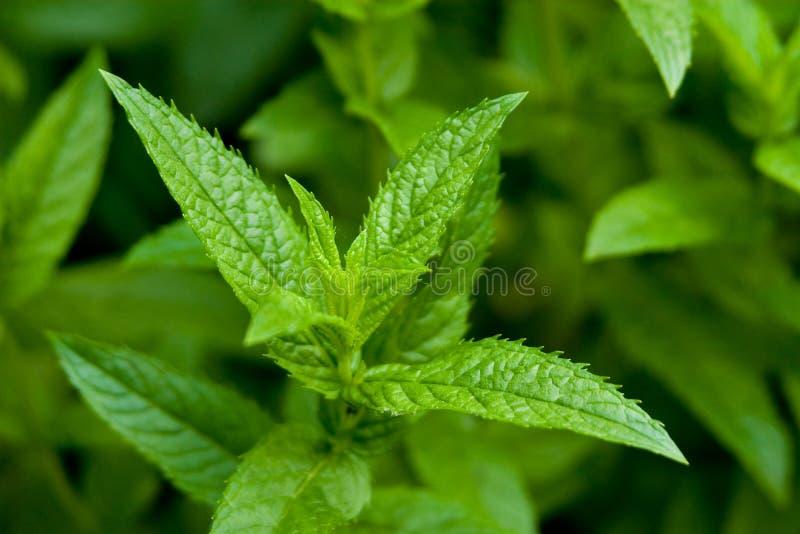 peppermint φυτό ενιαίο στοκ φωτογραφίες