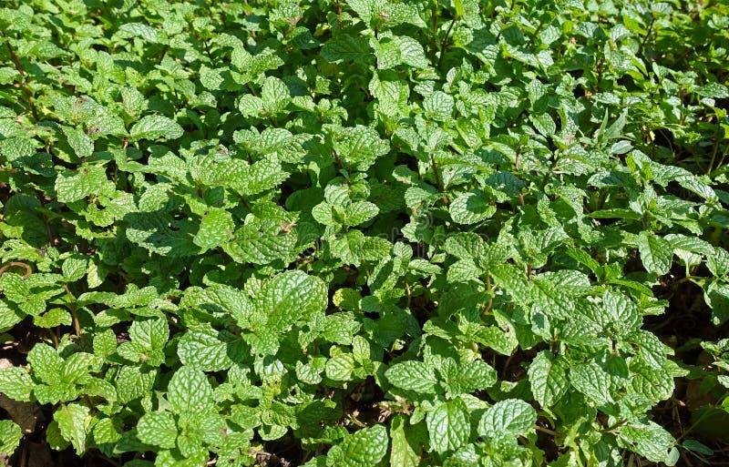 Peppermint φύλλα στοκ εικόνες με δικαίωμα ελεύθερης χρήσης