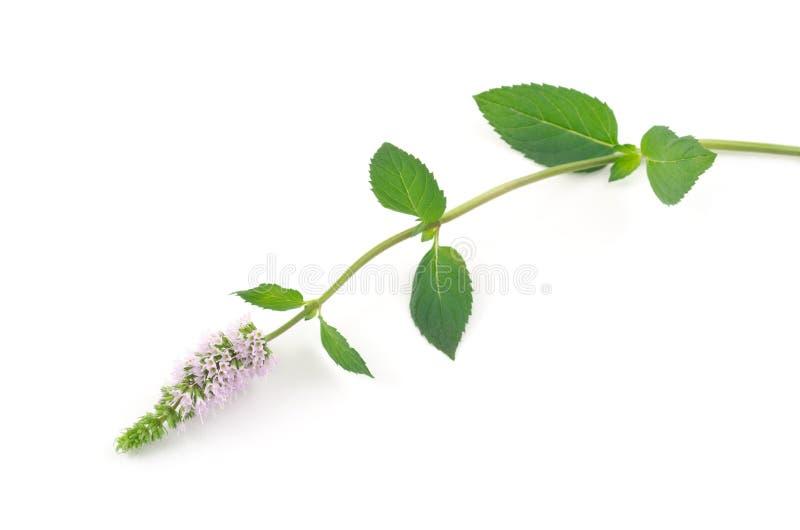 Peppermint flower stock image