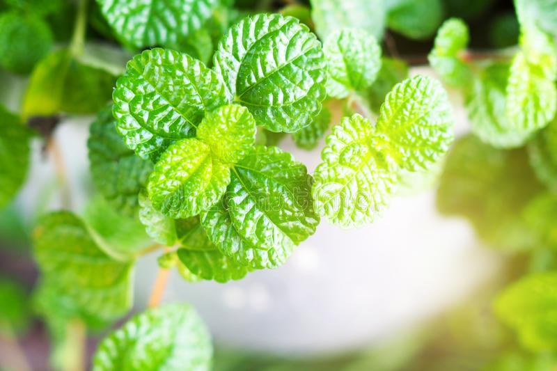 Peppermint green plant is a medicinal herb and is used to cook food. Or drink stock photos