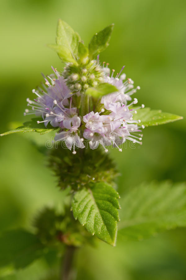 Peppermint (Mentha piperita),Herb and spice stock photos