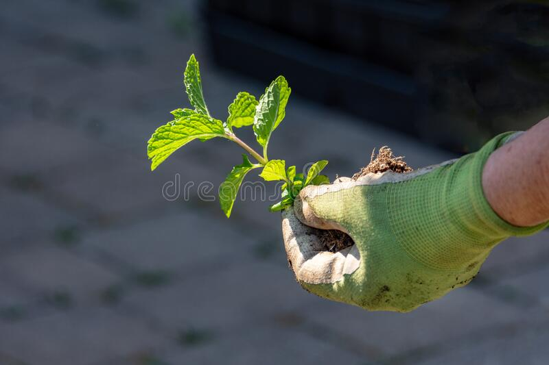 Peppermint seedling before planting in the ground royalty free stock photos