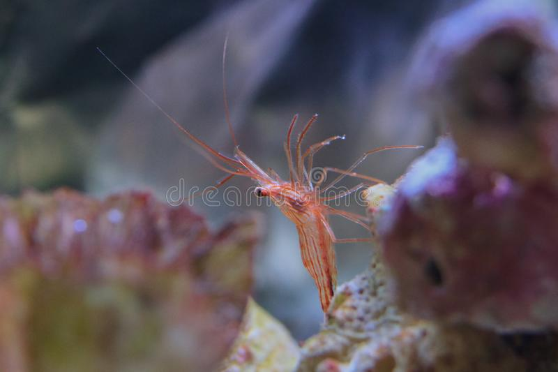 Peppermint shrimp. Beautiful red and white shrimp on ocean floor showing intimidating behavior royalty free stock photography