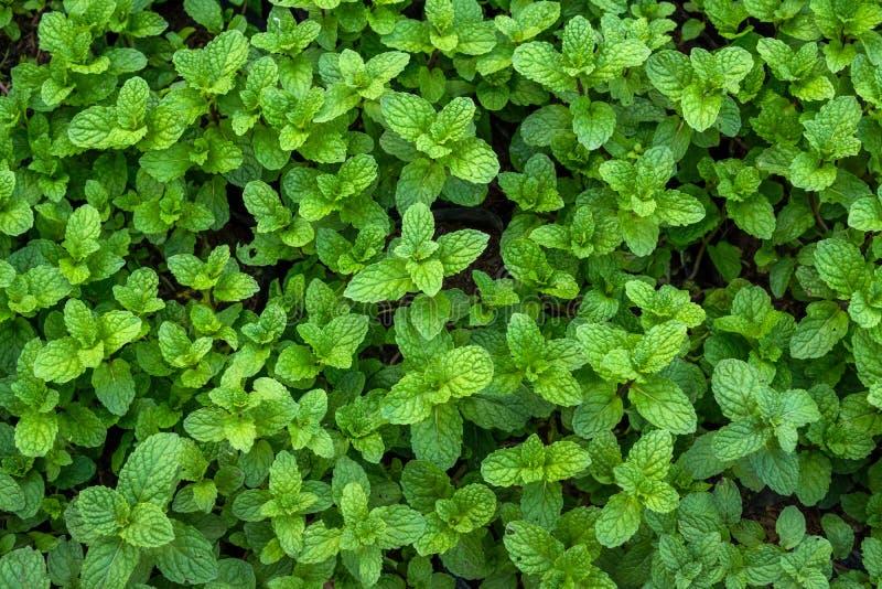 Download Peppermint In Vegetable Garden Stock Image