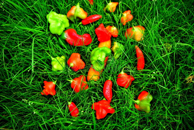 Peppers. Beautiful multicolored peppers, green grass, contrast, autumn, health, they give vitamins, eating a variety of foods stock photo