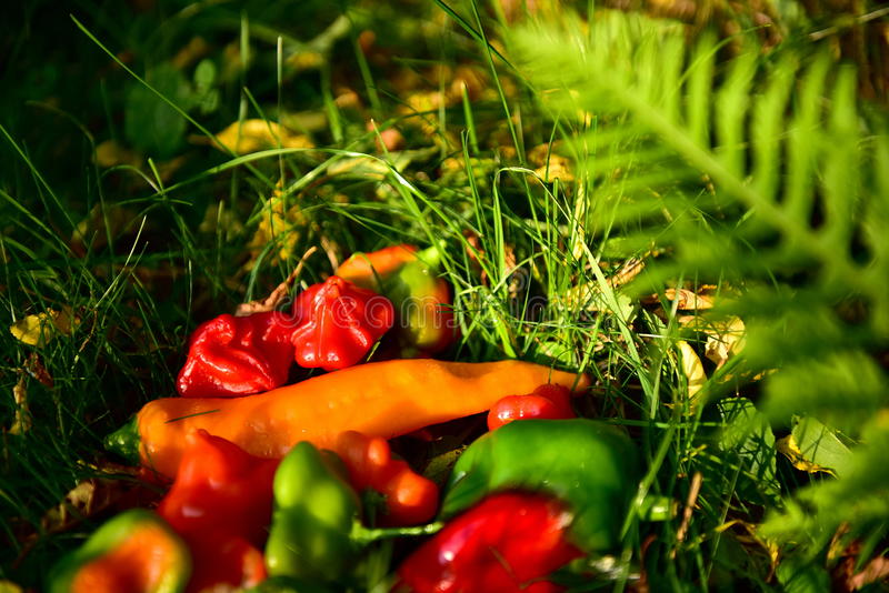 Peppers. Beautiful multicolored peppers, green grass, contrast, autumn, health, they give vitamins, eating a variety of foods royalty free stock images