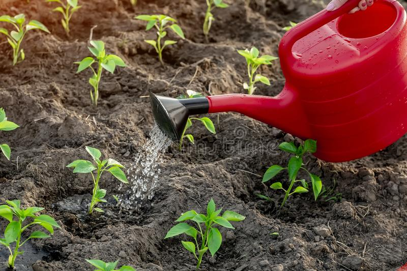 Peppers in the greenhouse, watering from a watering can royalty free stock photography