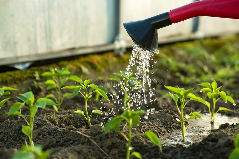 Peppers in the greenhouse, watering from a watering can royalty free stock photos
