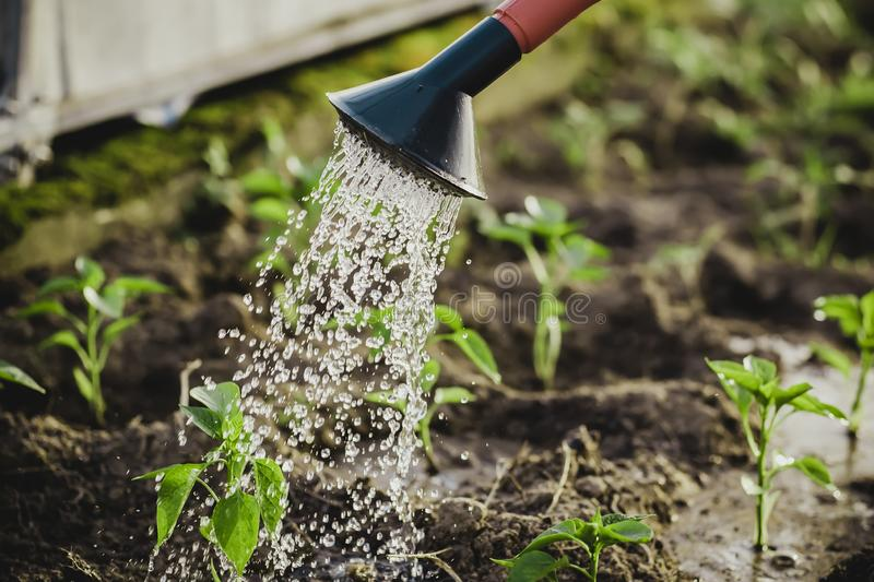 Peppers in the greenhouse, watering from a watering can royalty free stock photo