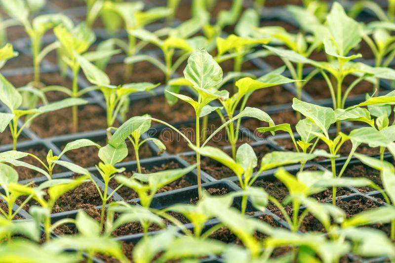 Peppers Sprouts Greenhouse, Sprouted Peppers, Potted Peppers Seedlings. Spring Seedlings. Agriculture royalty free stock photo