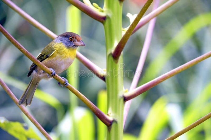 Download Peppershrike Rufous-sobrancelhudo, Pássaro Comum Na América Latina Imagem de Stock - Imagem de pena, liberdade: 65575391