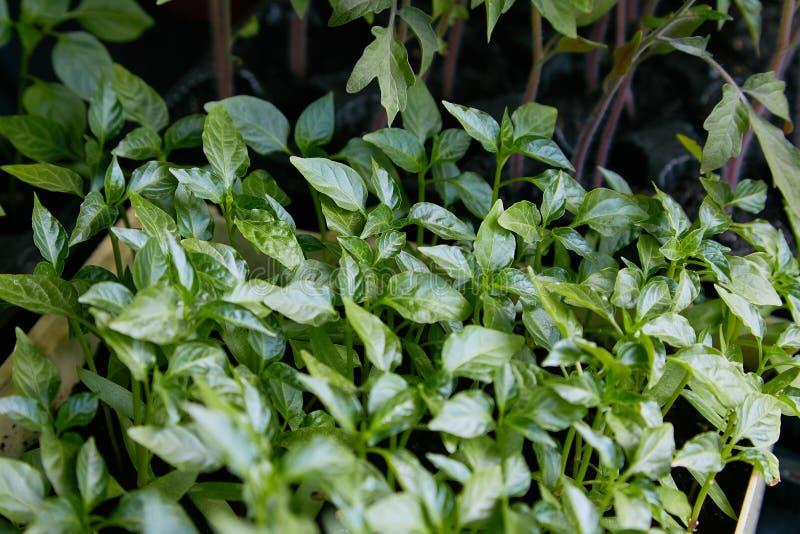 Peppra plantor, ung l?vverk av peppar, v?rplantor royaltyfri fotografi