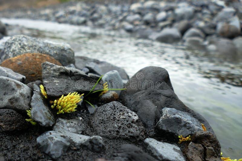 Pequeño pedazo de musgo que crece entre rocas en Thorsmörk, Islandia fotografía de archivo