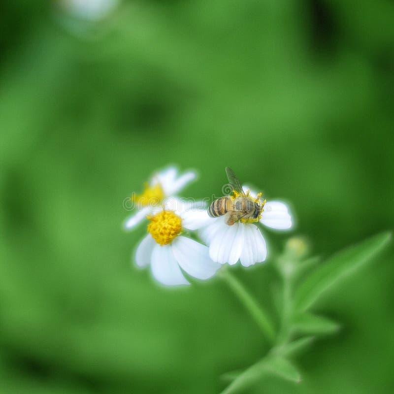 Pequeña abeja, abeja de la miel, polen imágenes de archivo libres de regalías