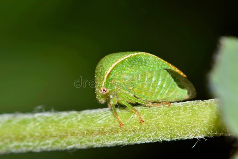 Pequeña alfalfa triangular verde Treehopper fotos de archivo libres de regalías