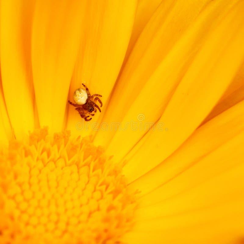 Pequeña araña en la flor imagenes de archivo