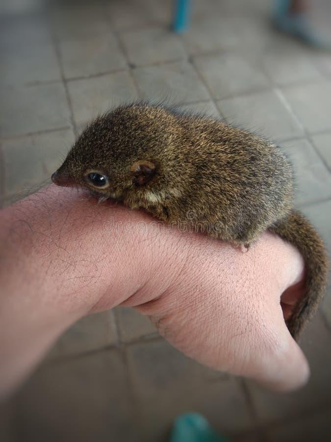 pequeña ardilla doméstica en la mano imagen de archivo
