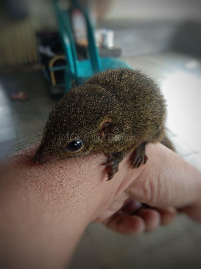 pequeña ardilla doméstica en la mano fotos de archivo
