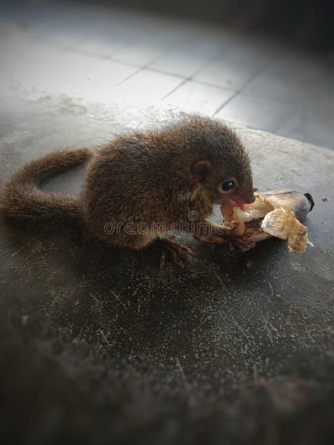 pequeña ardilla doméstica en la mano foto de archivo libre de regalías