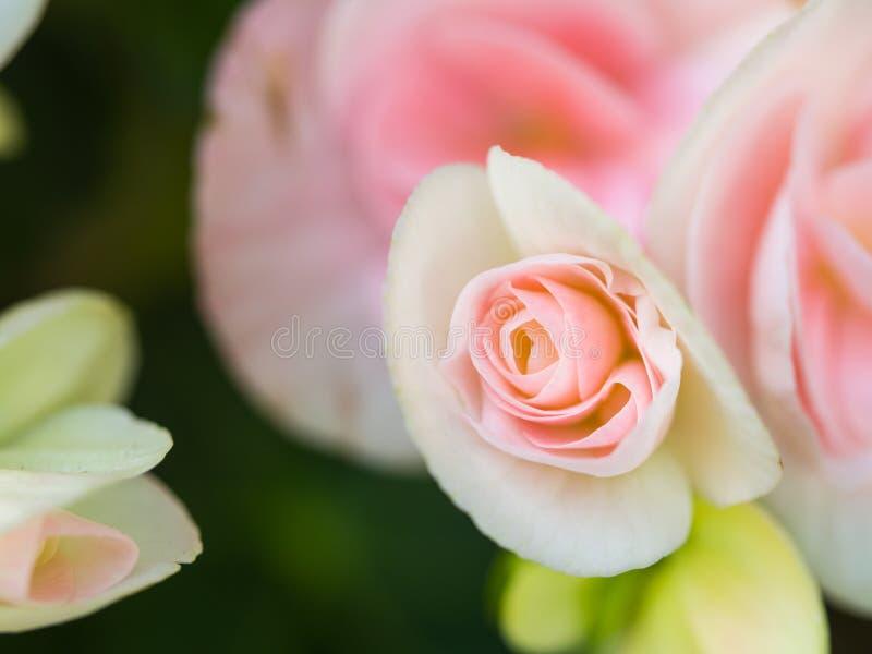 Pequeña Begonia Blooming rosada blanca fotografía de archivo libre de regalías