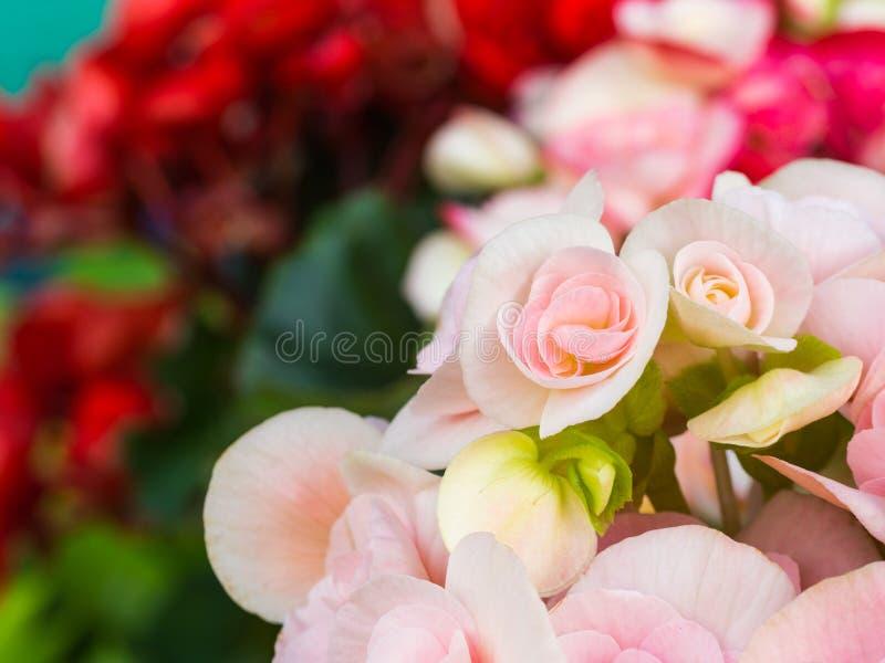 Pequeña Begonia Blooming rosada blanca imagenes de archivo