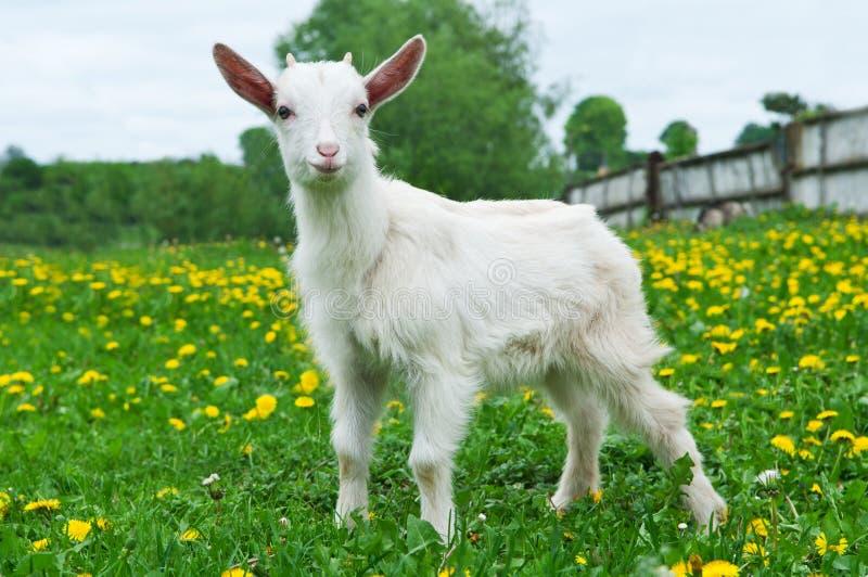 Pequeña cabra blanca fotografía de archivo libre de regalías