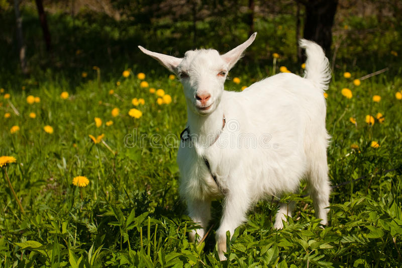 Pequeña cabra blanca Animales del bebé de la granja fotos de archivo libres de regalías