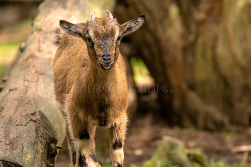 Pequeña cabra linda en el bosque foto de archivo libre de regalías